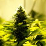 Día del cannabis