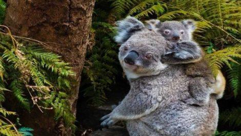 Koalas-Australia