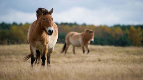 Caballos en extinción usan Chernobyl como santuario