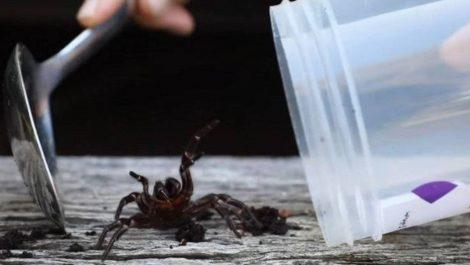 Arañas altamente tóxicas amenazan a la población de Australia