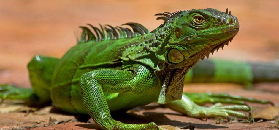 Florida alerta sobre posible «lluvia de iguanas»
