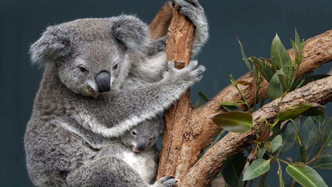 Par de primos en Australia rescatan koalas en su carro y se hacen virales
