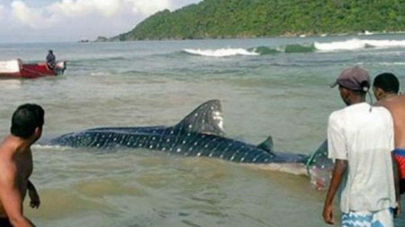 Pescadores y turistas avistaron tiburón ballena en Choroní