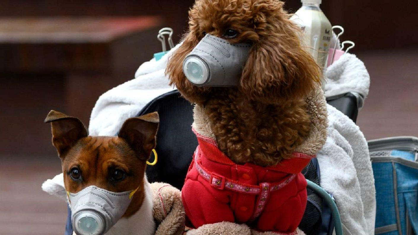Detectaron en Hong Kong primer caso de perro con coronavirus