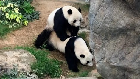 Pandas hong kong