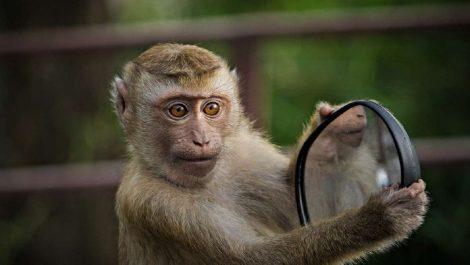 Monos se robaron muestras de sangre con coronavirus en India