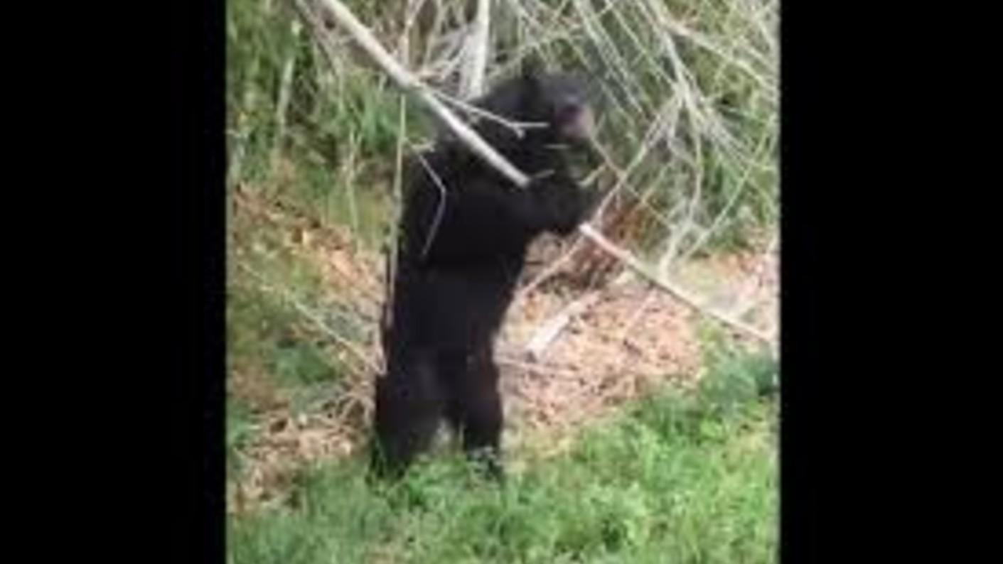 oso frontino capacho Lara